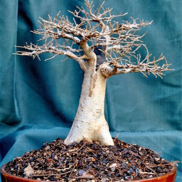 Chinese elm in Baobab style (Bonsai Beginnings)