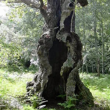 Hollow trunk (Facebook Walter Pall)