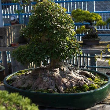 Bonsai with large root flare