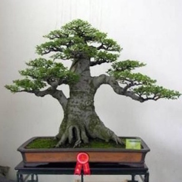 Elm Bonsai (Baidu forums)