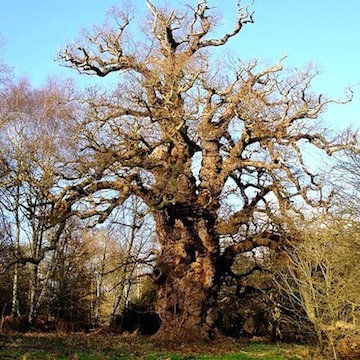 Majestic oak tree
