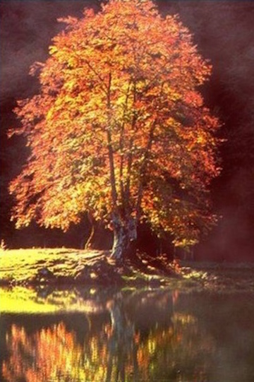 Maple tree in fall (Feel Spirit)