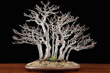 Bonsai Forest (Luis Vallejo)