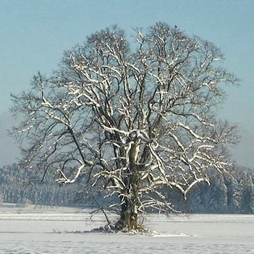Linden tree in winter