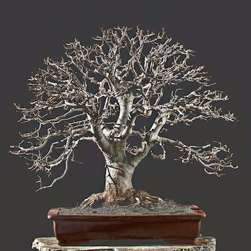 Linden bonsai tree, Walter Pall