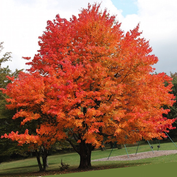 Red maple (FrankieFlowers)