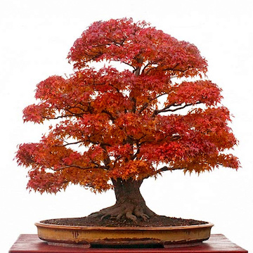Maple bonsai in fall