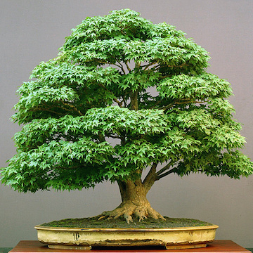 Acer bonsai in summer