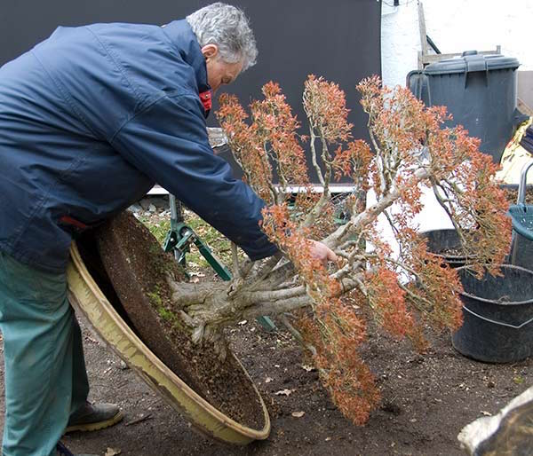 removing the tree from its pot