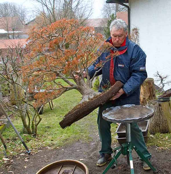 putting the tree on a turning table, to be able to remove the soil from the roots