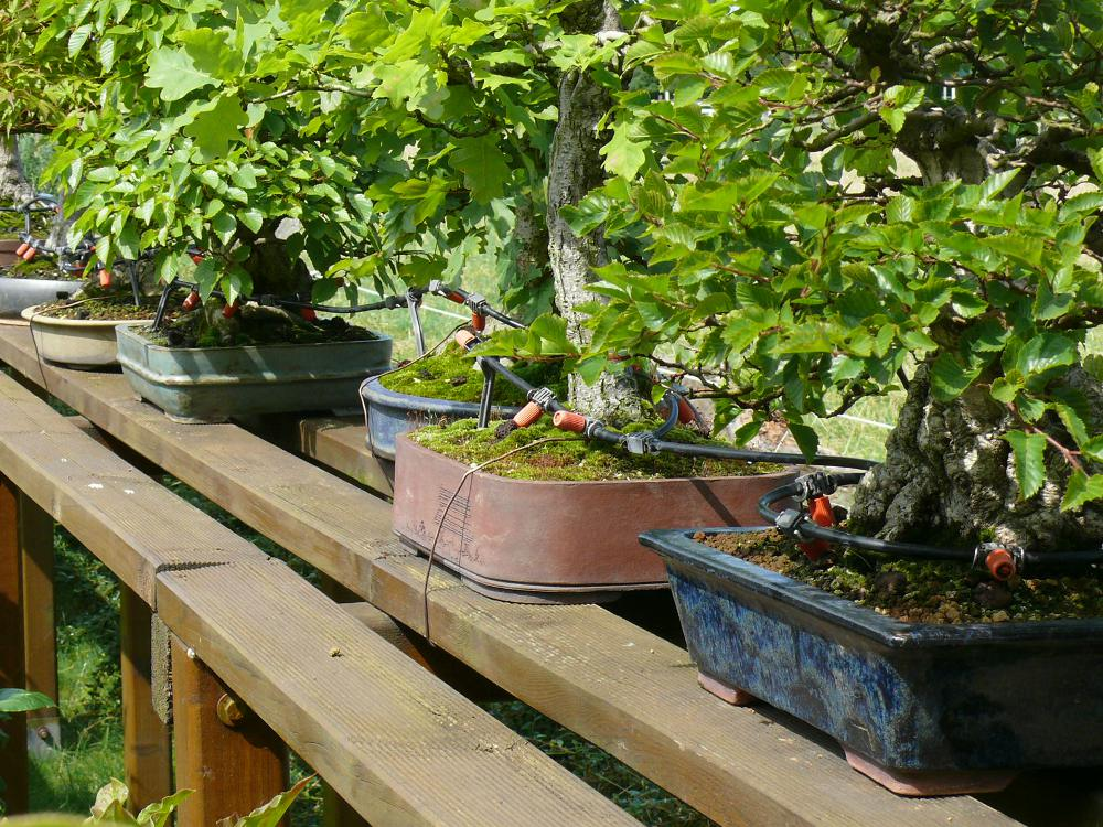 Automated watering system for bonsai