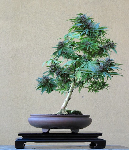Cannabis Bonsai tree