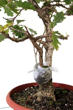 Air layered bonsai