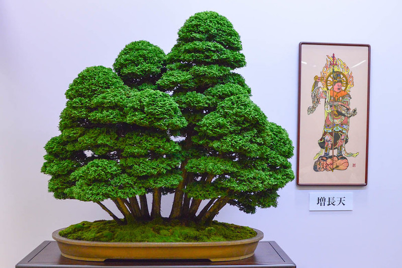 Hinoki Cypress Bonsai Empire
