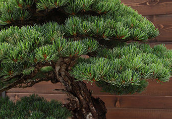 Developing Coniferous Bonsai course