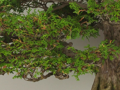 Hinoki Cypress Bonsai (Chamaecyparis obtusa)