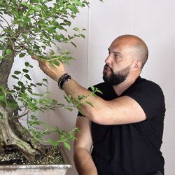 Mauro Stemberger, Bonsai teacher
