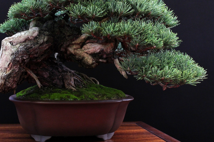 Bonsai Tree San Antonio | Home and Garden Designs