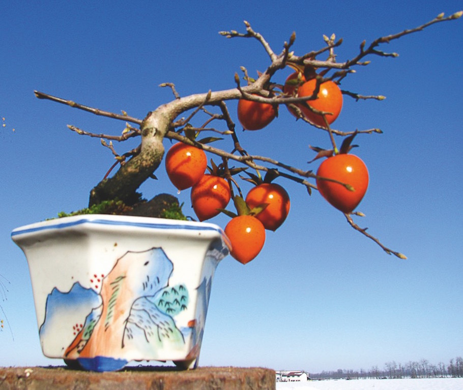 Bonsai with fruits