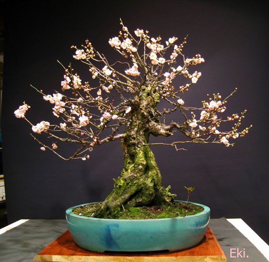 Old Bonsai Cherry tree