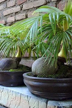 Coconut Bonsai