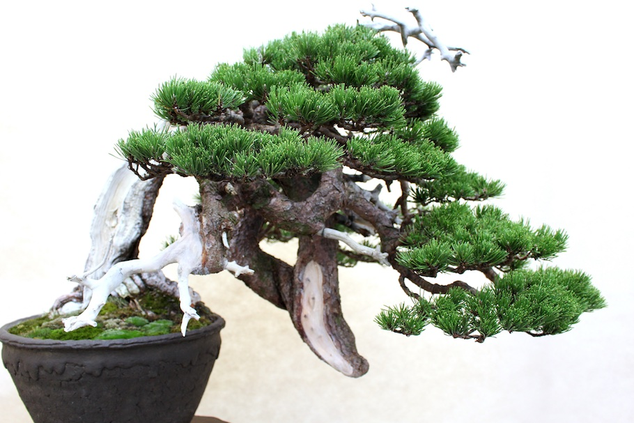 Care Guide For Pine Bonsai Species Pinus Bonsai Empire