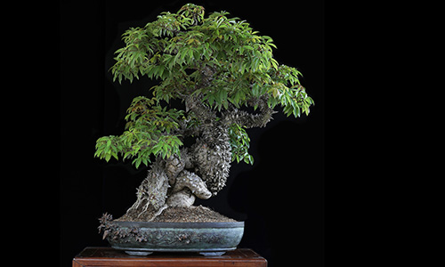 Growing And Caring For A Bonsai Tree Bonsai Empire