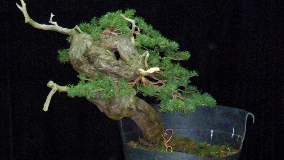 European bonsai bonsai empire for Unusual bonsai creations