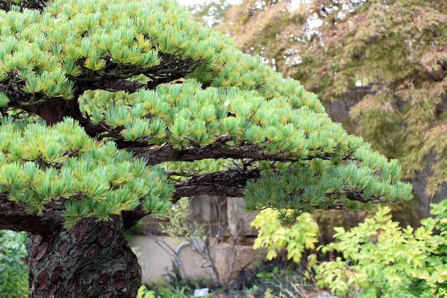 Bonsai that survived the atomic blast in Hiroshima