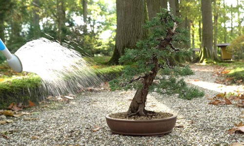 Making a Juniper Bonsai