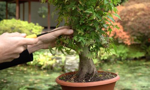 Making a Japanese Maple Bonsai
