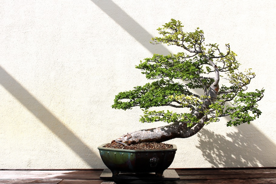 windswept Elm bonsai