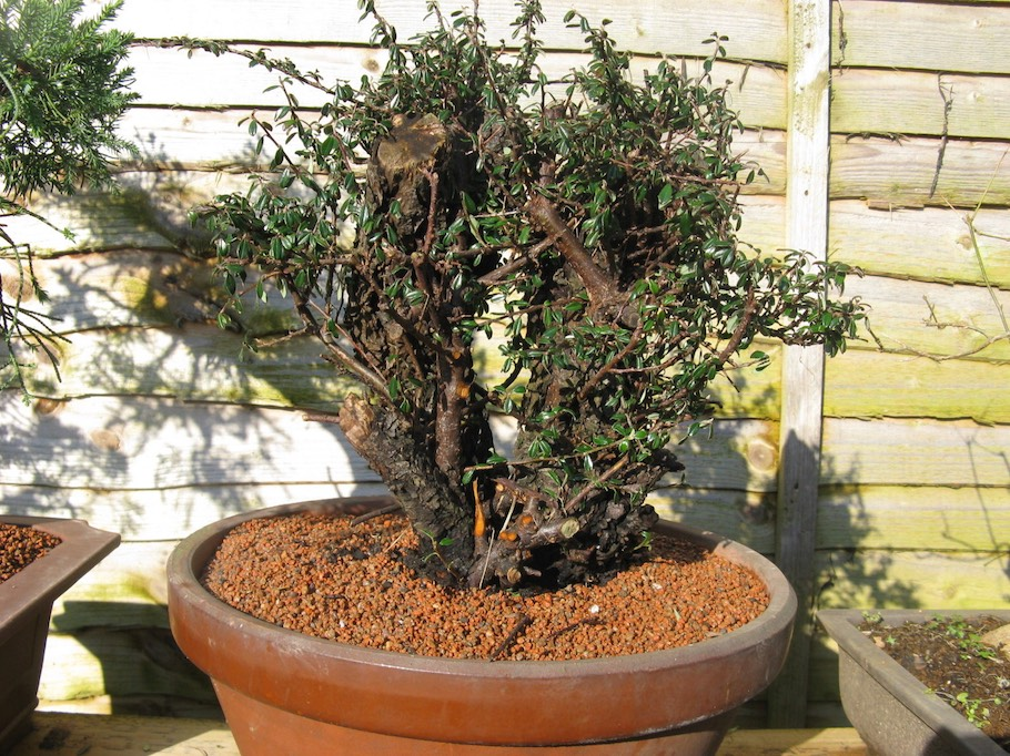 Cotoneaster Bonsai by Harry Harrington