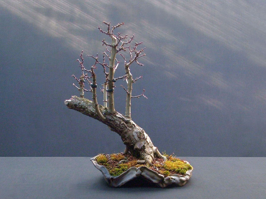 Hawthorn raft bonsai