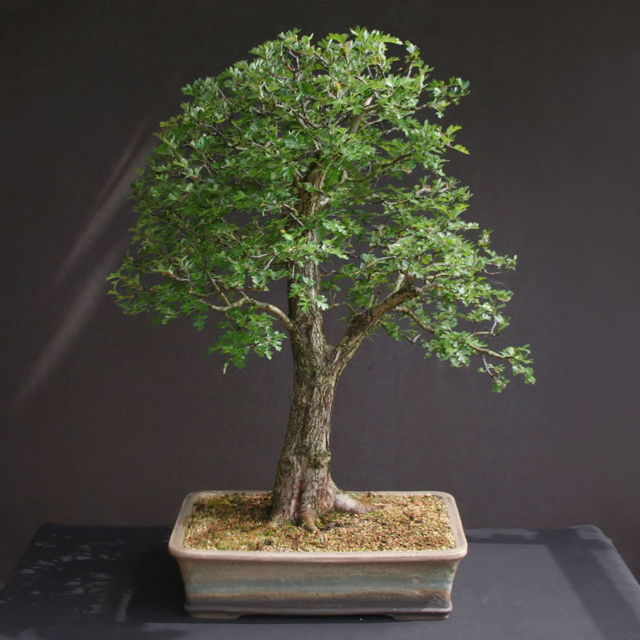 Hawthorn Double Trunk Bonsai Empire