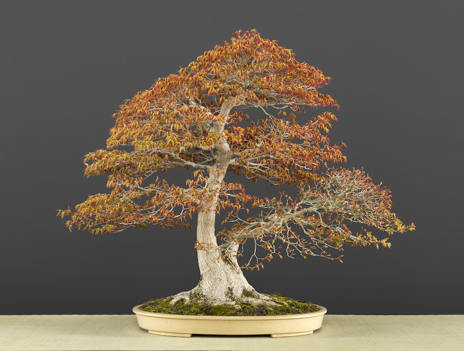 Bonsai in spring
