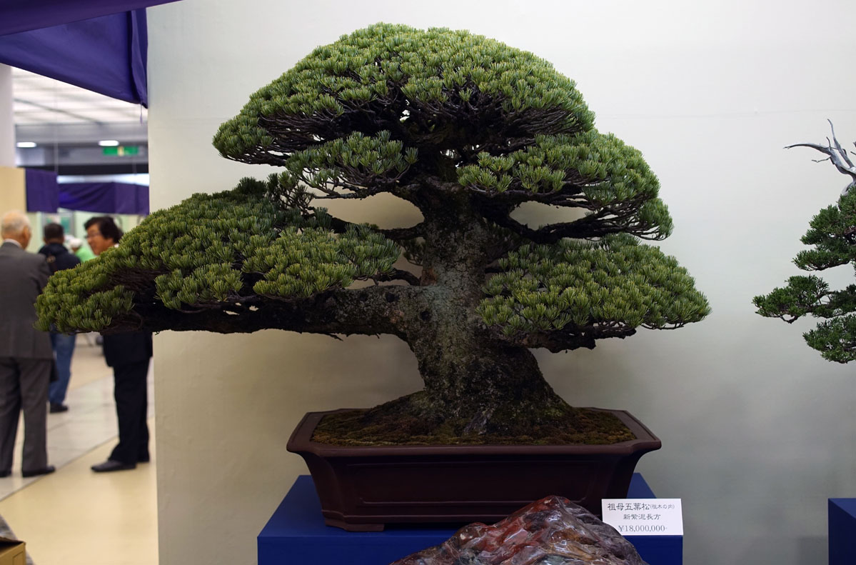 White Pine Bonsai worth 160.000 USD