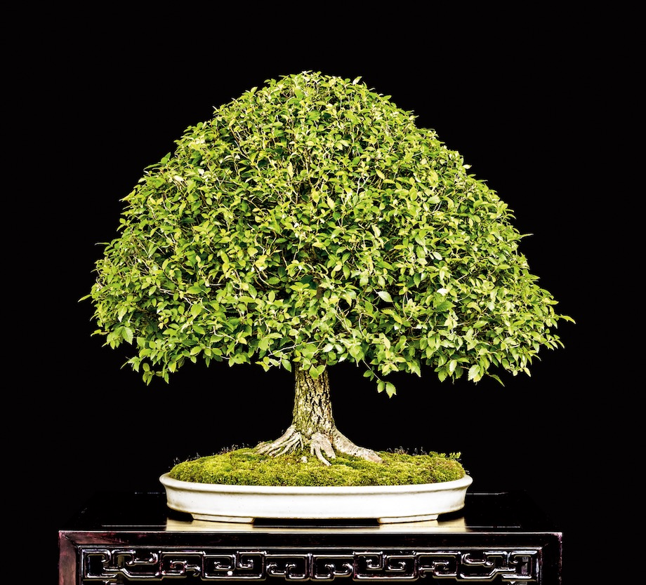 American Elm Bonsai tree