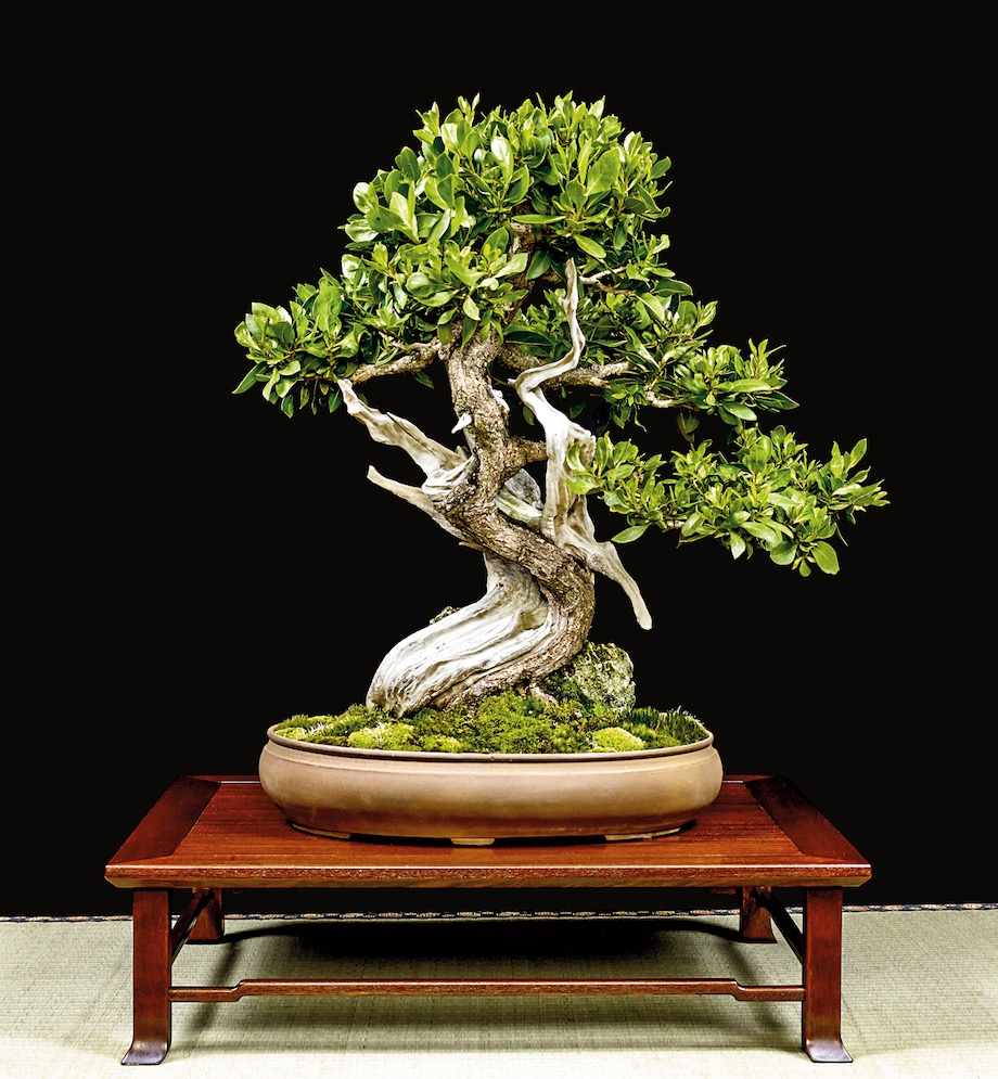 Buttonwood Bonsai