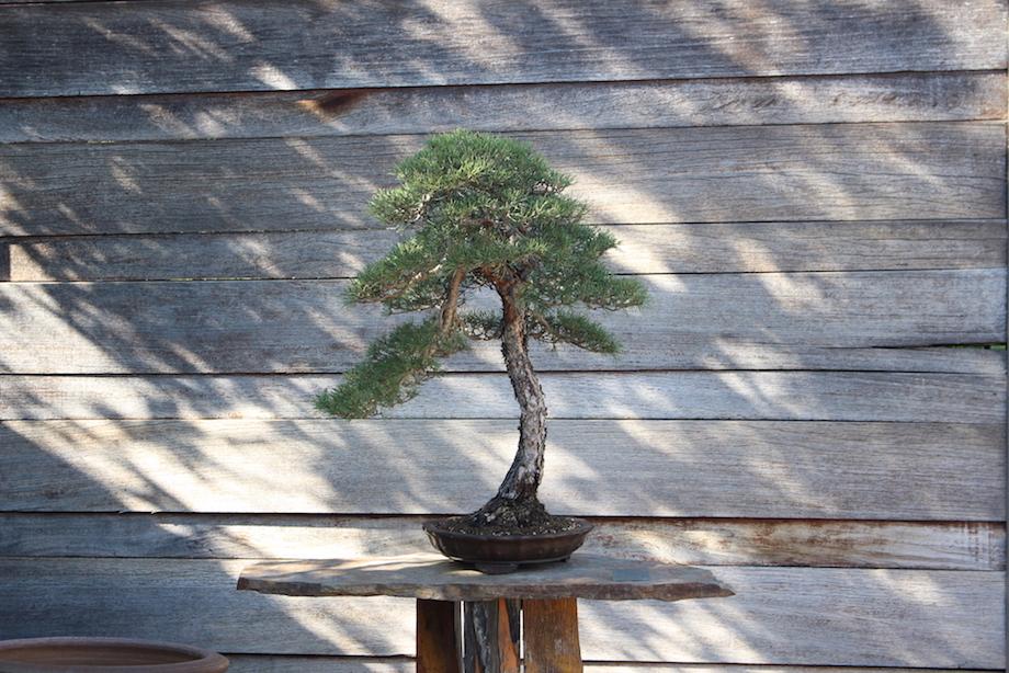 Luis Vallejo S Garden Bonsai Empire
