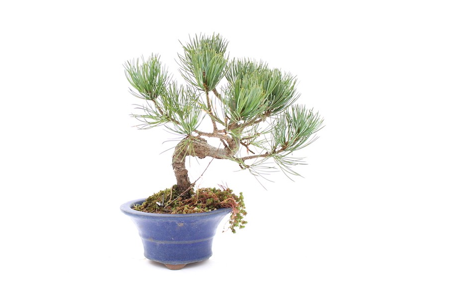 Bonsai tree in glazed pot