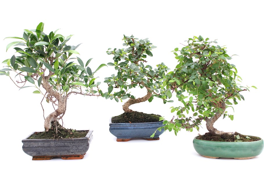 Indoor bonsai tree care guidelines bonsai empire for Bonsai indoor