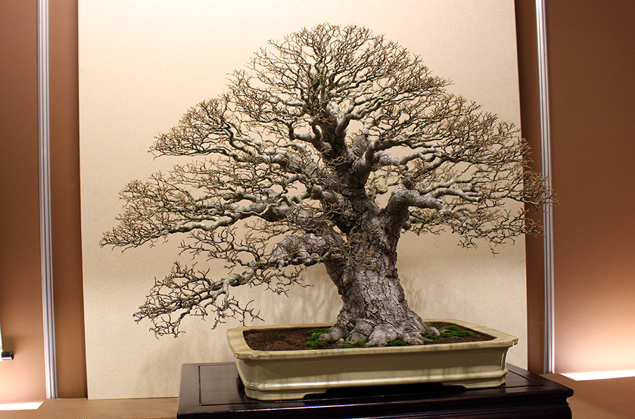Celtis sinensis, Chinese hackberry Bonsai