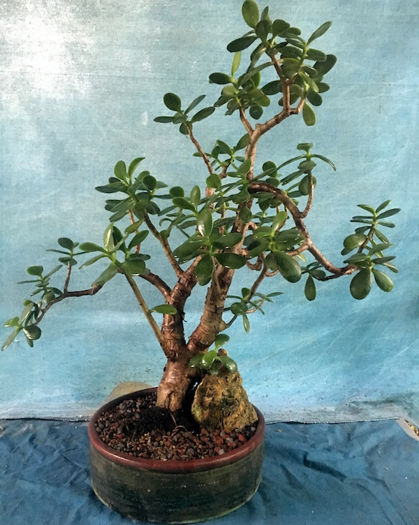 Care Guide For The Jade Bonsai Tree Crassula Bonsai Empire