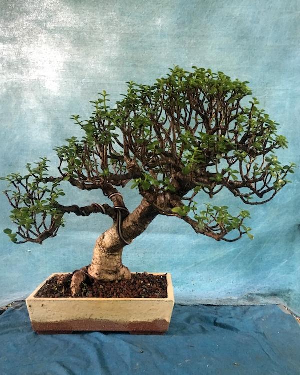 Care Guide For The Jade Bonsai Tree Crassula Bonsai Empire