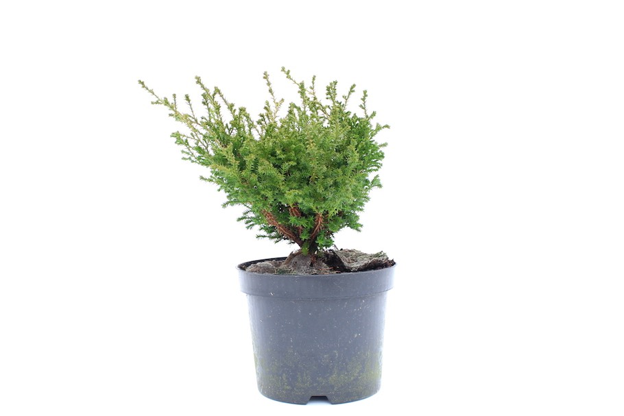 Young Prebonsai Material Chamaecyparis Around 20 Bonsai Nursery Stock