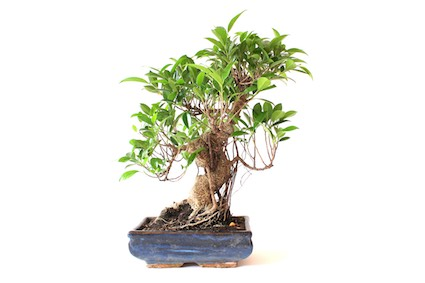 care guide for the ficus bonsai tree ficus retusa. Black Bedroom Furniture Sets. Home Design Ideas