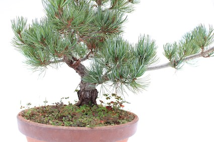 The Bonsai Trunk Shape Taper And Thickness Bonsai Empire