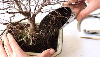 Bonsai Tree Care