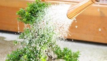 Bonsai tree care and maintenance - Bonsai Empire